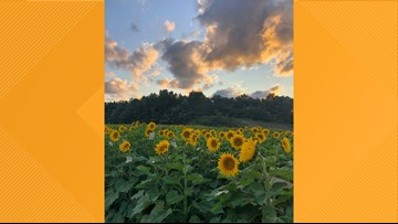 Sunflowers bloom at Maria's Field of Hope at Cedar Point