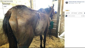 Horses rescued from Geauga County cruelty situation on path to recovery