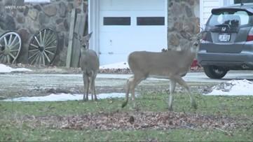 Deer collisions: Do you brake or swerve?