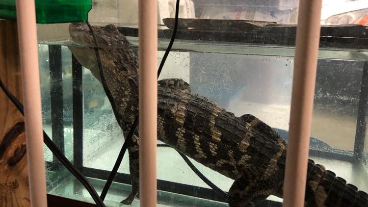 Cleveland drug bust alligator