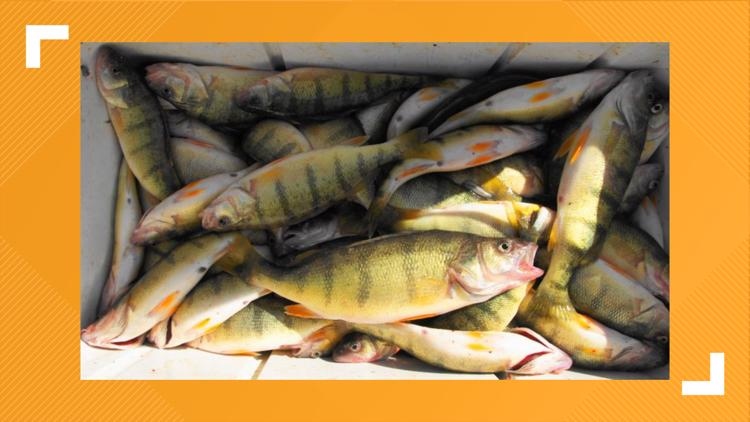 Lake Erie yellow perch suffer population crash, causing state to impose stricter catch limits