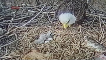 3rd eaglet hatches in Avon Lake nest