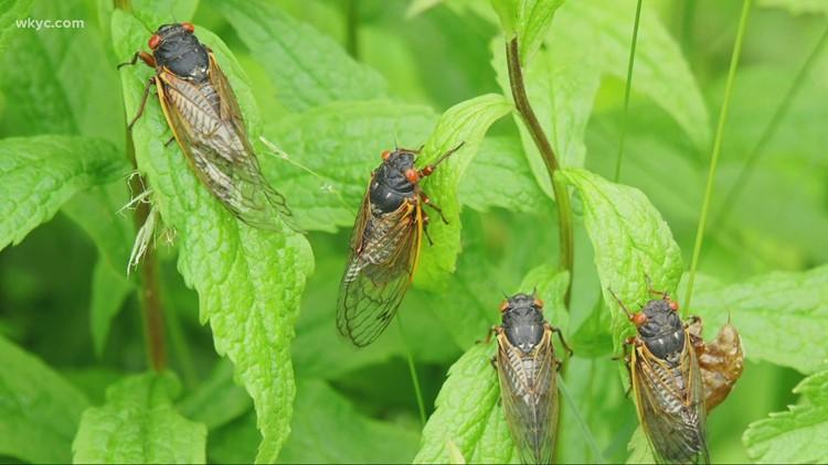 Brood X cicadas are on the way