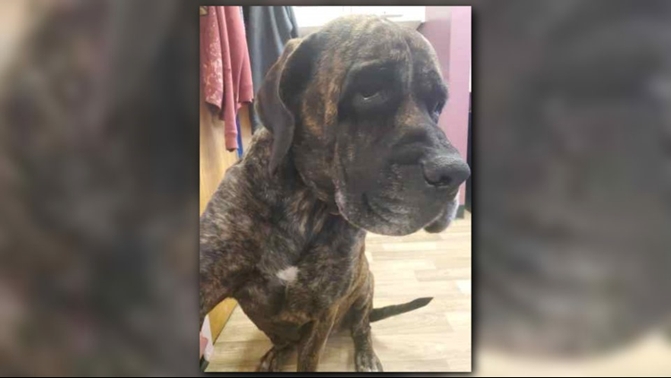 Severely underweight, neglected bull mastiff in search of forever home