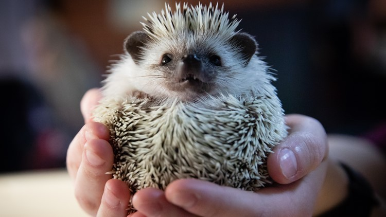 How an Akron company is using a hedgehog to help solve football's concussion problem: Game Changers