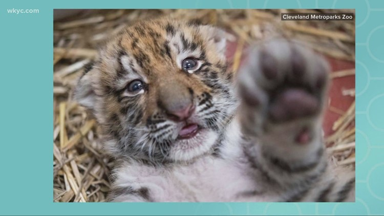 New tiger cubs debut at the Cleveland Metroparks Zoo