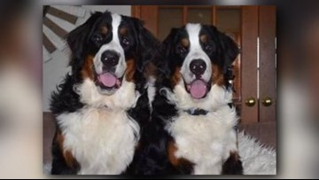 Furever In Our Hearts 2nd Bernese Mountain Dog Missing