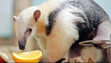 Cincinnati Zoo welcomes baby tamandua