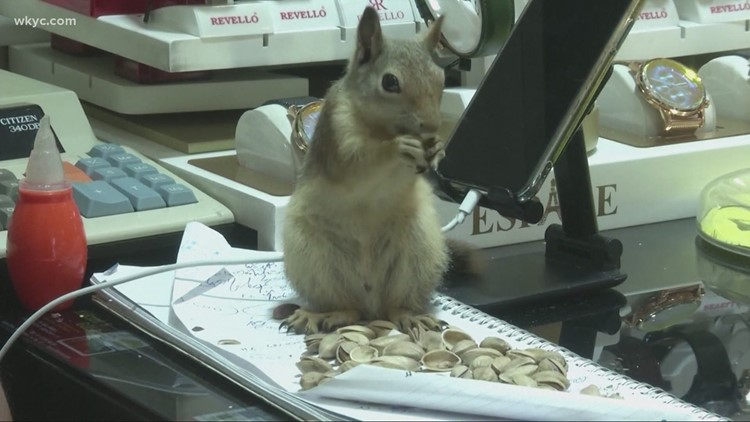 Squirrel protects register at Turkish jewelry store