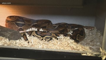 Brecksville woman finds boa constrictor on front lawn