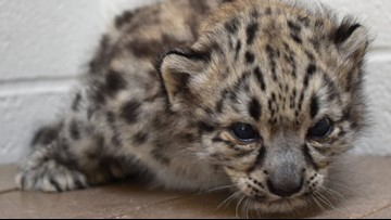 Akron Zoo holding contest to name new snow leopard cub