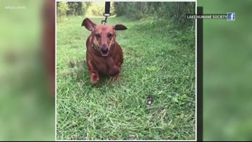 Overweight but lovable Lake County dachshund looking for her forever home