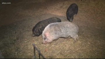 How to adopt a pig, horse or rooster from Rescue Village