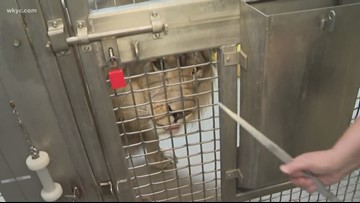 Donovan meets Donovan: Jimmy heads to Akron Zoo to encounter Donovan the Lion