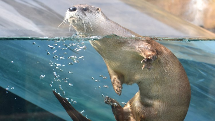 Odie the river otter, Akron Zoo