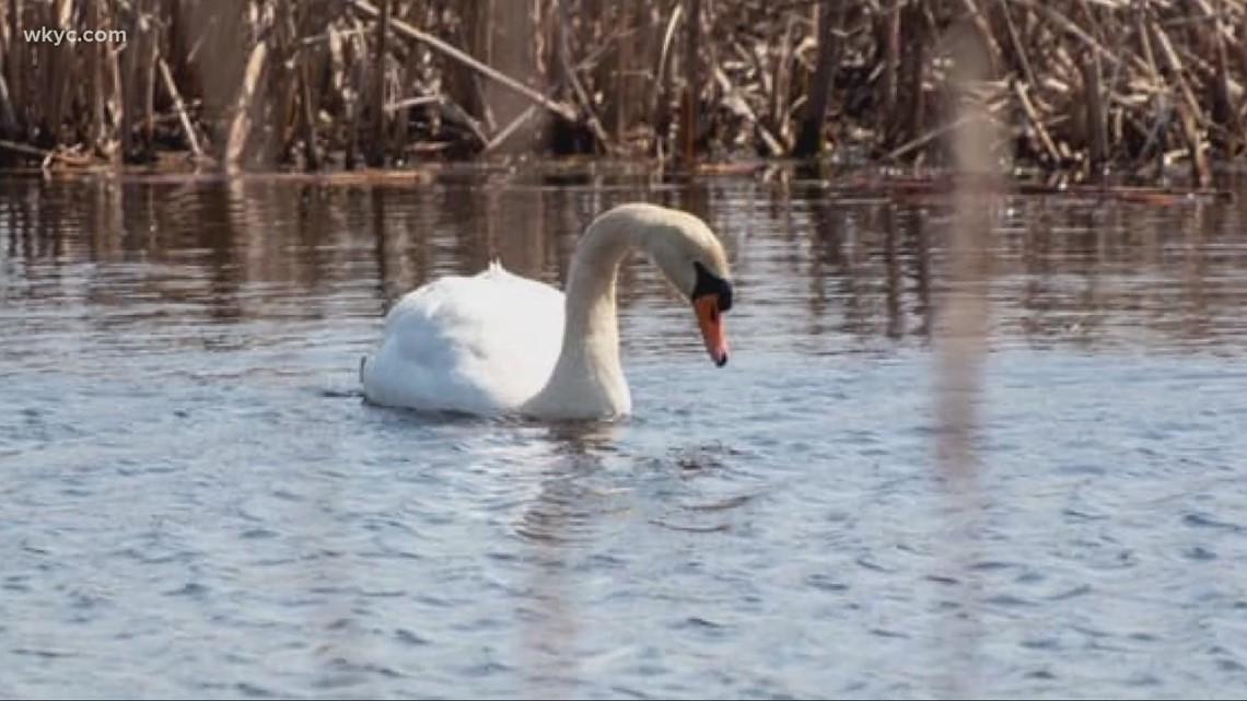Ohio Division of wildlife euthanizes pair of mute swans