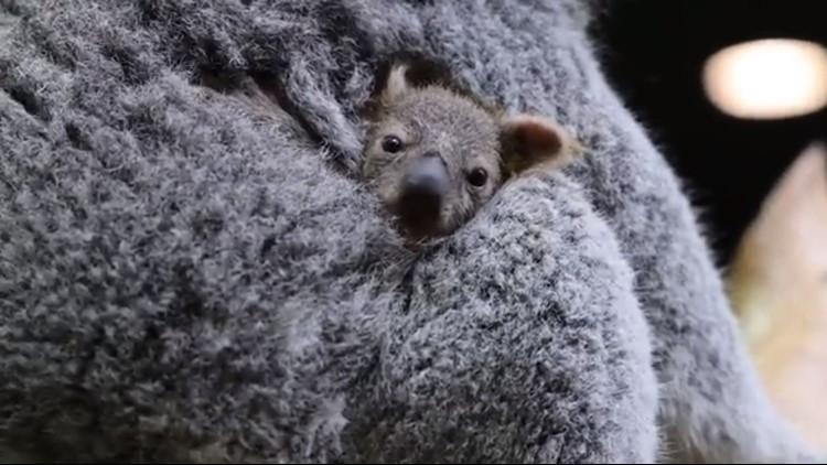 Cuteness overload! Baby koala born at Cleveland Metroparks Zoo