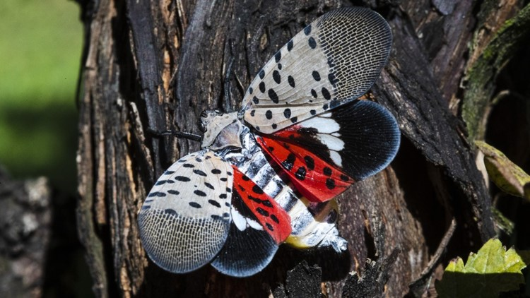 Ohio Department of Agriculture: Invasive Spotted Lanternfly seen in Cuyahoga County