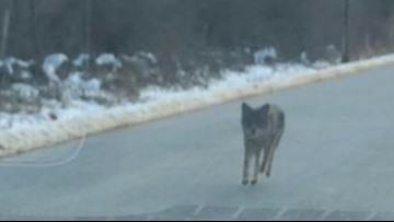 Man strangles coyote with bare hands after it tried to attack child