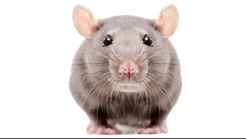 Woman living in van gives up all 300 of her rats
