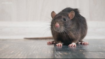 Rats! Cleveland listed as one of the 'rattiest' cities in America