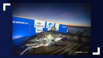 Luna, 15-foot white shark, headed toward Outer Banks