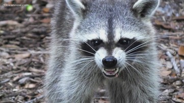 Ohio to put raccoon-rabies vaccination baits in 14 counties