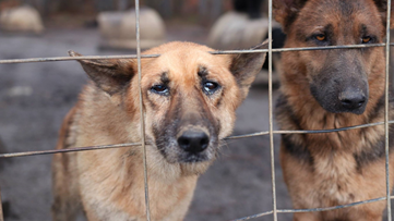 165 German Shepherds found living in 'extremely neglectful conditions'