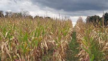 USDA projects bid decrease in Ohio corn crop this year